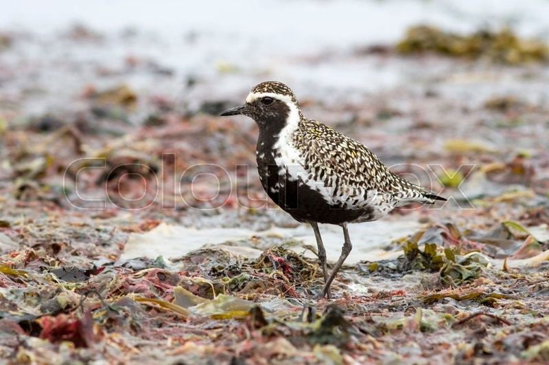Stock image of 'Pacific Golden Plover standing on the shore of the ocean among algae discarded'