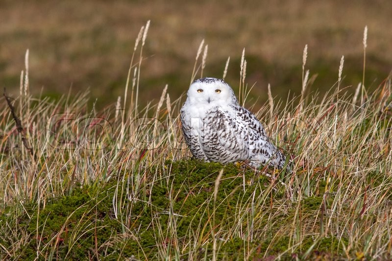 Stock image of 'Female snowy owl that sits in the tussock tundra in the sunny day'