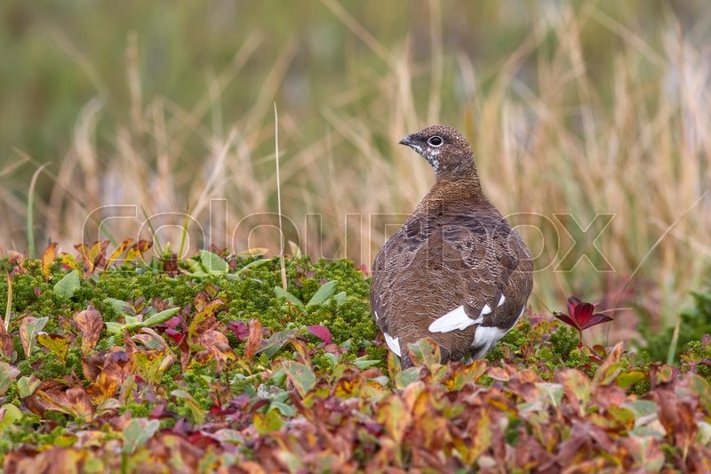 Stock image of 'Rock ptarmigan which sits on the banks of the tundra lakes'
