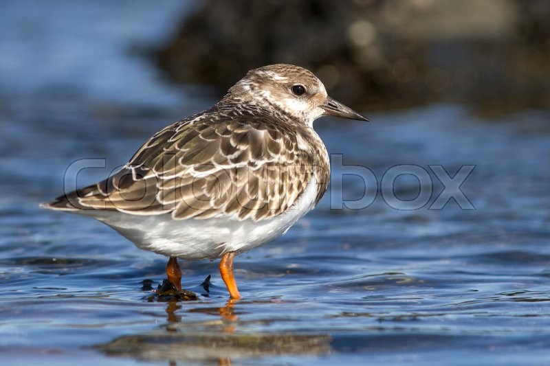 Stock image of 'Ruddy turnstone young that stands in water sunny autumn day'
