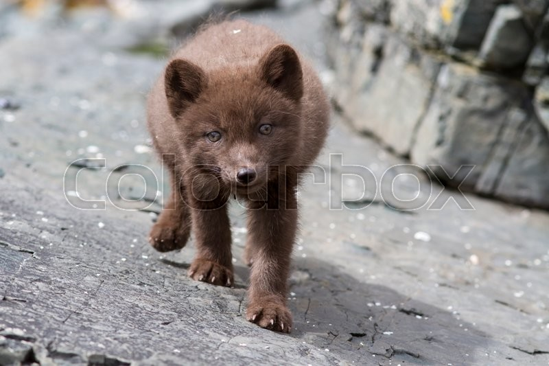 Stock image of 'Puppy Commanders blue arctic fox who steals the stones summer day'
