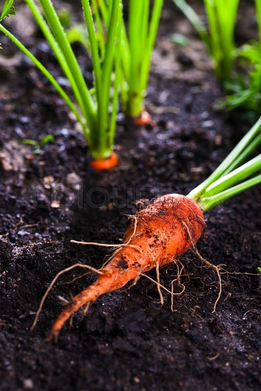 Stock image of 'closeup of a ripe carrot on bed'