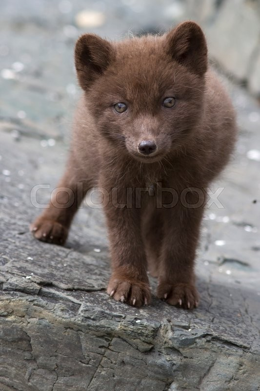 Stock image of 'Commander blue fox pup who stands on a cliff sunny summer day'