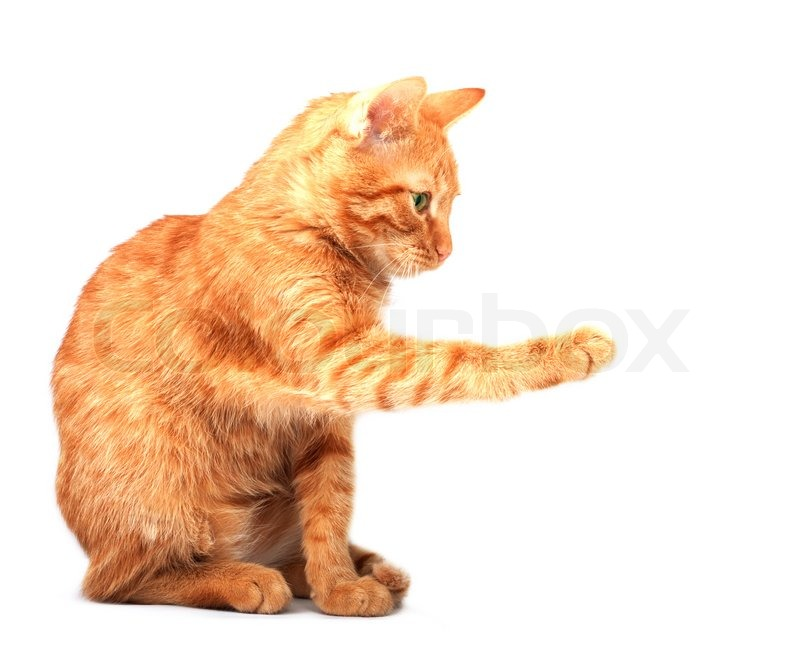 red cute cat on a white background stock photo colourbox