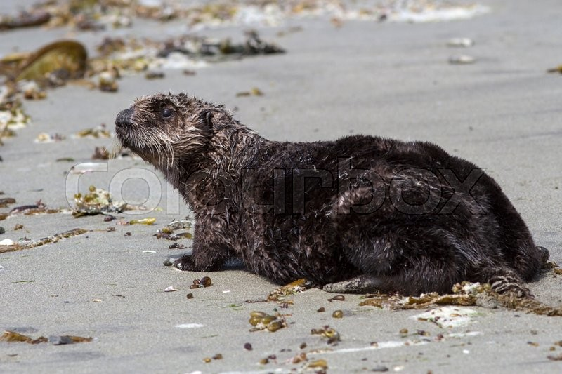 Stock image of 'Sea otter who stands on the sandy shore of the Pacific Ocean'