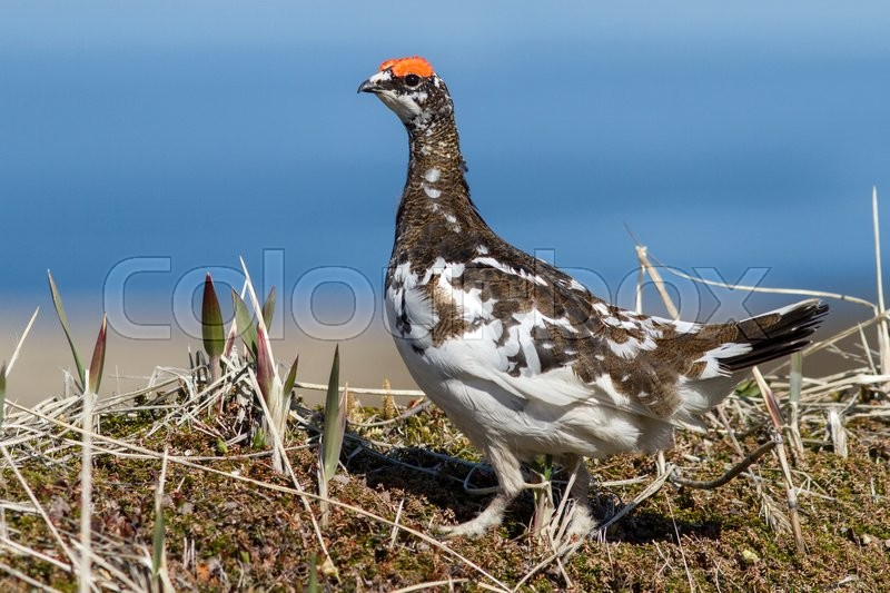 Stock image of 'Male Rock Ptarmigan in spring outfit that stands in the tundra'