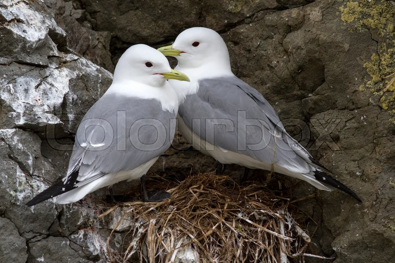 Stock image of 'Pair of black-legged kittiwake sitting on a nest in a colony on the rocks'