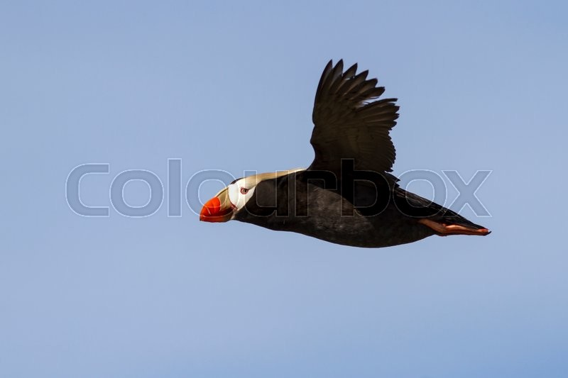 Stock image of 'Tufted puffin  that flies over the colony summer day'
