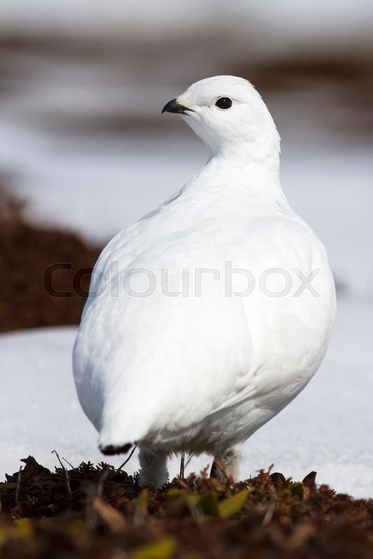 Stock image of 'Female Rock ptarmigan that is in the spring tundra'