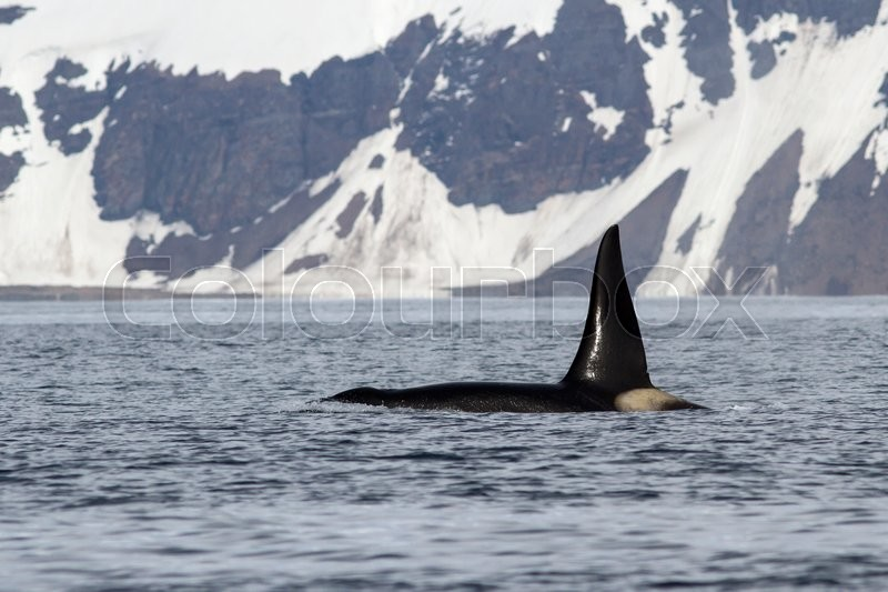 Stock image of 'Killer whale that Swimming in the ocean on a background of Bering Island'