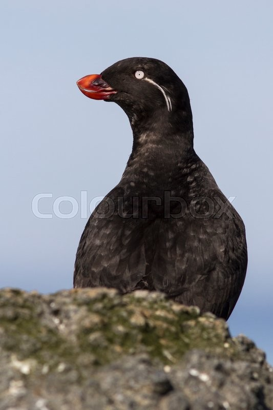 Stock image of 'Parakeet auklet who sits behind a rock summer day'