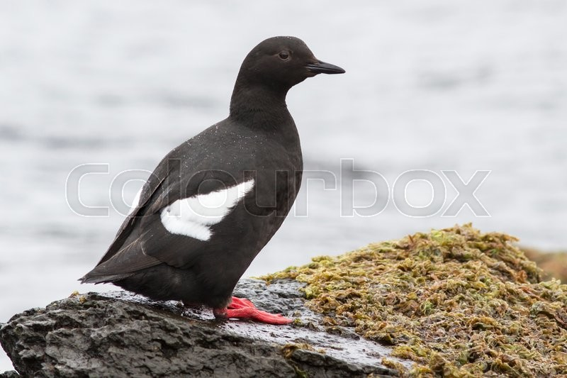 Stock image of 'Commander pigeon guillemot which stands on a rock near the shore'