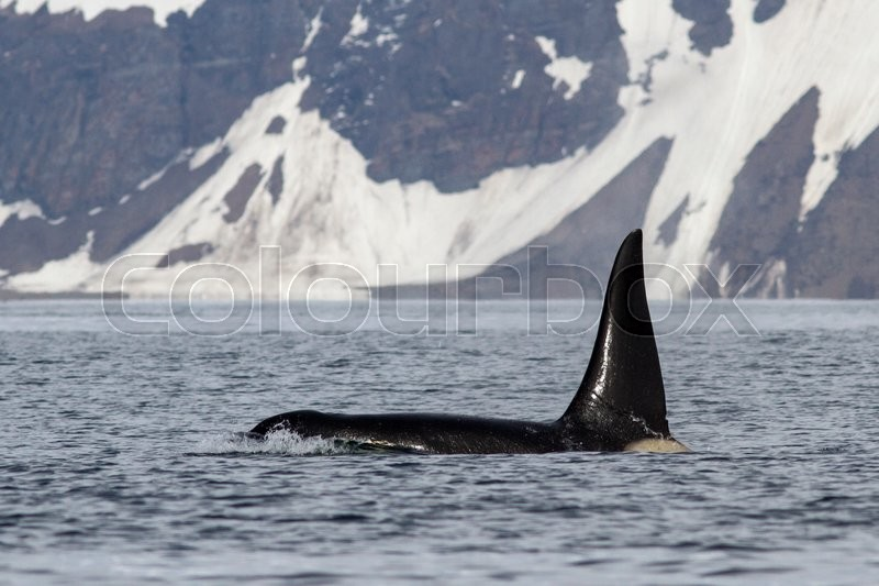 Stock image of 'Male killer whale who swims against the backdrop of Bering Island'