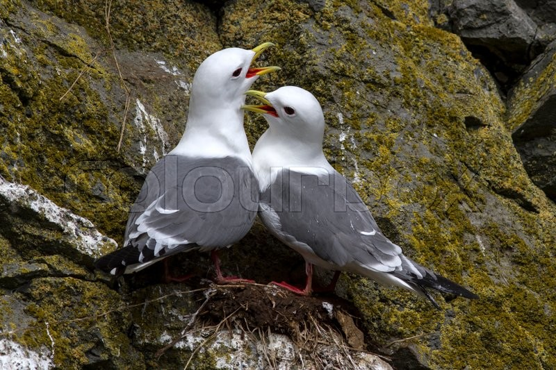 Stock image of 'Red-legged kittiwake couple sitting in the nest and cry'
