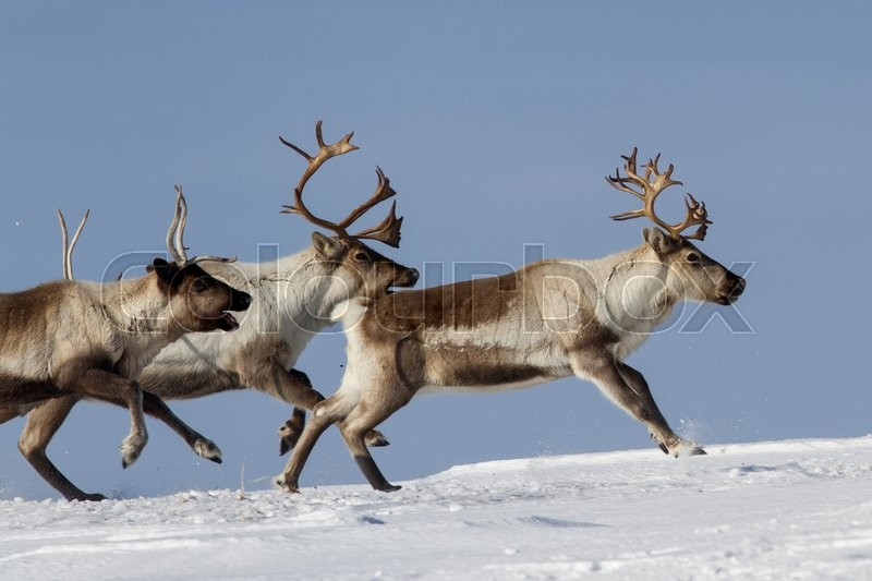 Stock image of 'Reindeer that run on a snowy tundra winter day'