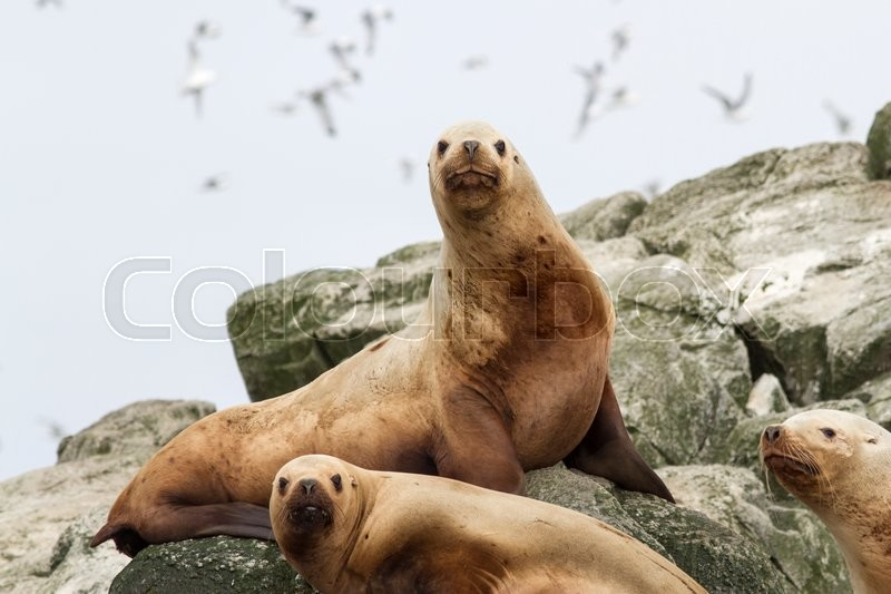 Stock image of 'Steller sea lion on the rocks that lie on a small island in the Pacific Ocean'