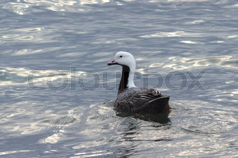 Stock image of 'Emperor goose floating on the coast of the Bering cloudy day'
