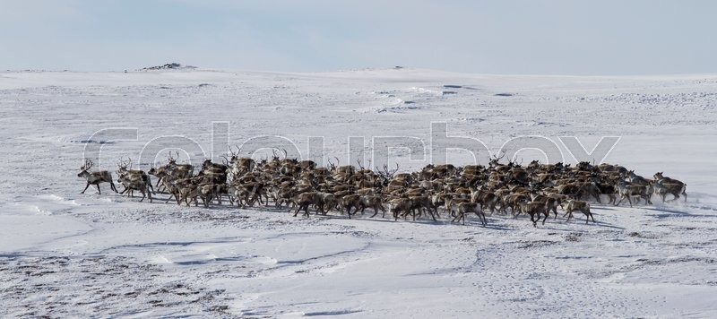 Stock image of 'Large herd of reindeer in the winter tundra Bering Island'