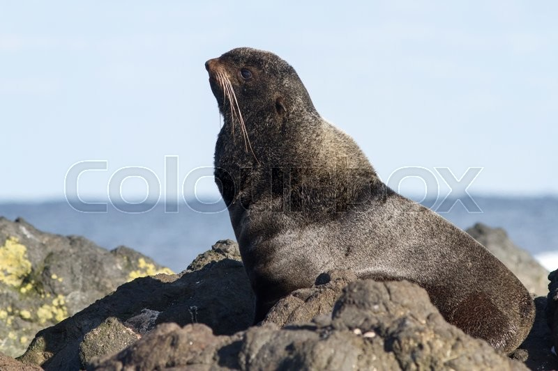 Stock image of 'young male northern fur seal that rests on the rocks'