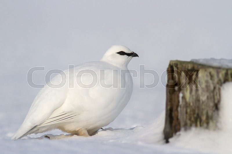 Stock image of 'Commander male ptarmigan near the snow-covered stone'