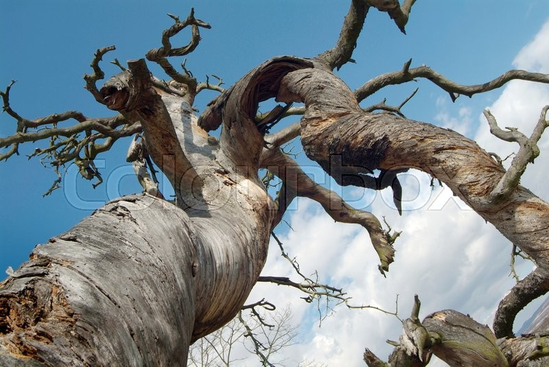 Stock image of 'Bare  twisted tree - view from below'