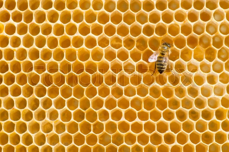 Stock image of 'Honeybee on a comb '
