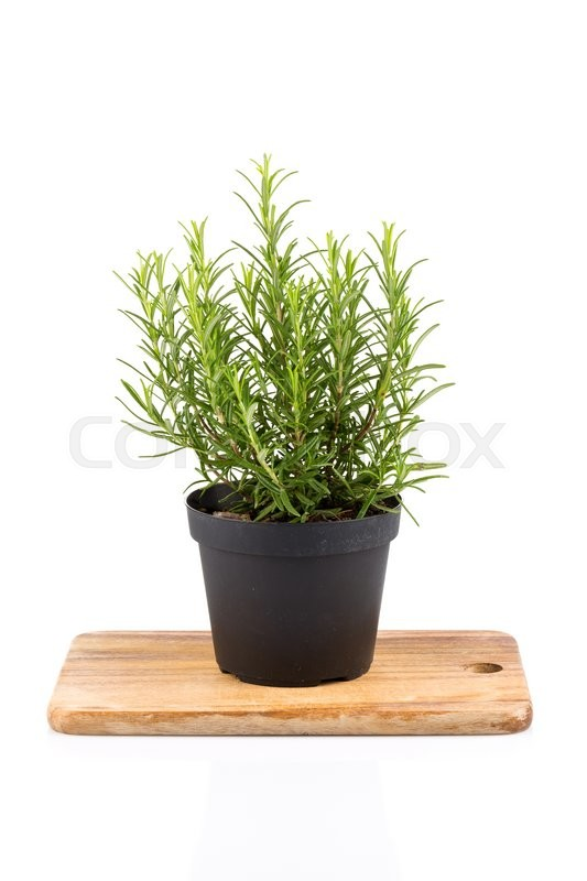 Stock image of 'rosemary inside a black pot on white background, rosmarinus officinalis'