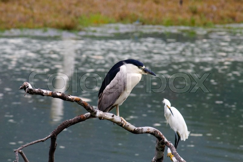 Stock image of 'The Black-Crowned Night Heron and the Snowy Egret at Malibu Beach in August'