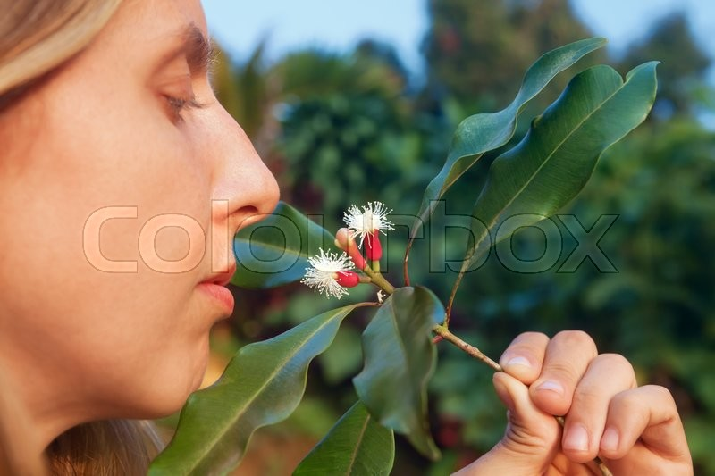 Stock image of 'Woman sniffing fresh red raw sticks and blooming flowers growing on clove tree. Tropical plants, natural food spices, producing scented condiments and oil in Indonesian agricultural plantation.'