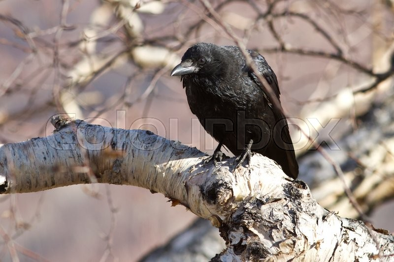 Stock image of 'Black crow sitting on a branch that stone birch '