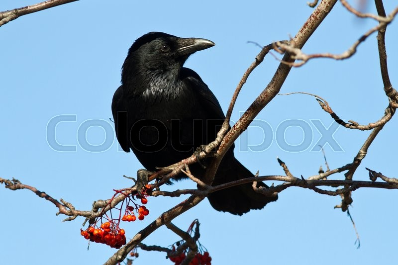 Stock image of 'Black crow is sitting on a branch of rowan '