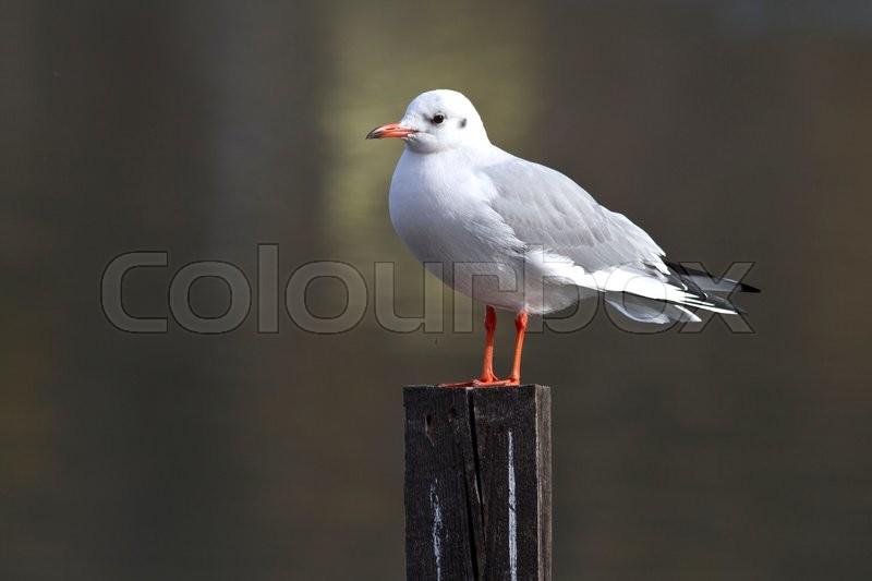 Stock image of 'Black-headed gull is sitting on a wooden pole on the lake autumn day '