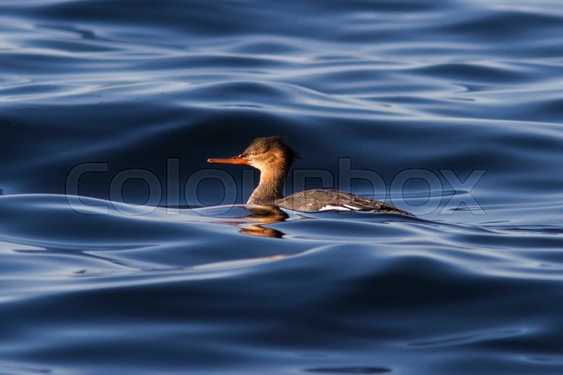 Stock image of 'female Red-breasted Merganser floating in the waters of the bay Avachinskaya autumn day'