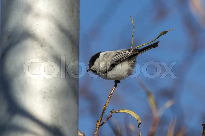 Stock image of 'Willow tit is sitting on a branch of a willow and looks forward autumn day'