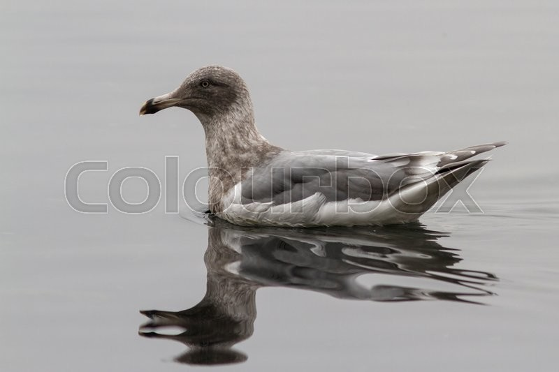 Stock image of 'Glaucous-winged gull which is floating on the waves of the bay Avachinskaya cloudy day'