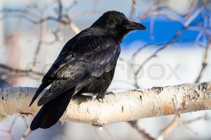 Stock image of 'Eastern black crow is sitting on a branch of a birch stone sunny winter day'