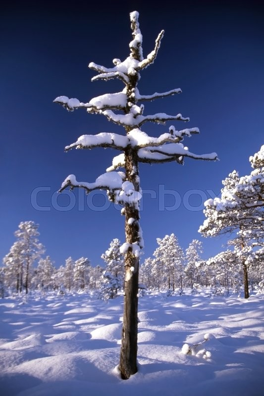 Stock image of 'Snowy trees in forest in sunny day with blue sky'