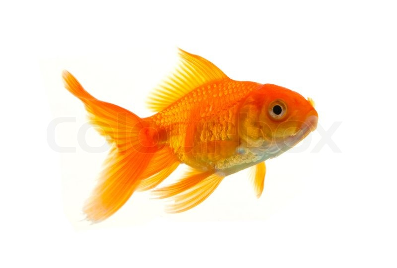Gold fish isolated on a white background stock photo for Small fish pictures