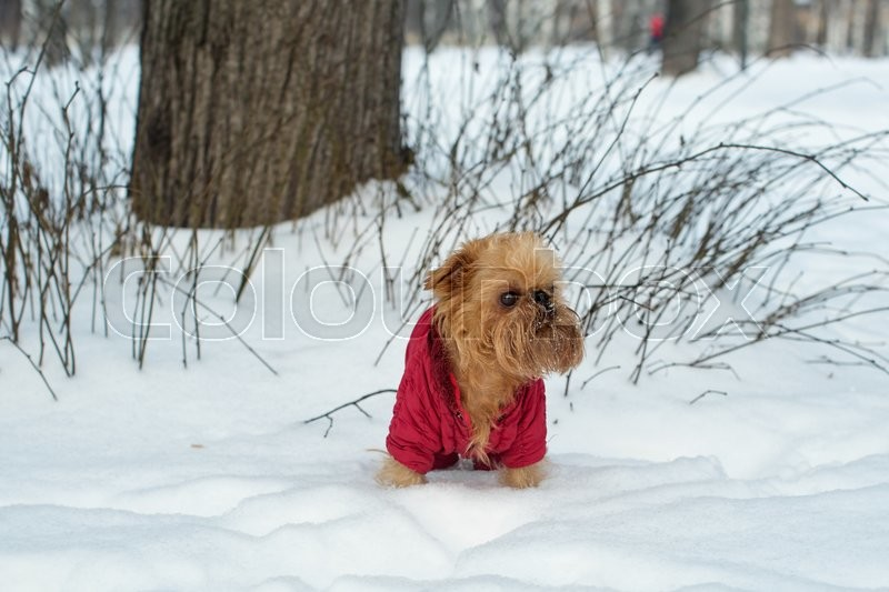Stock image of 'Dog breed Brussels Griffon, walks in the winter wearing warm clothes '