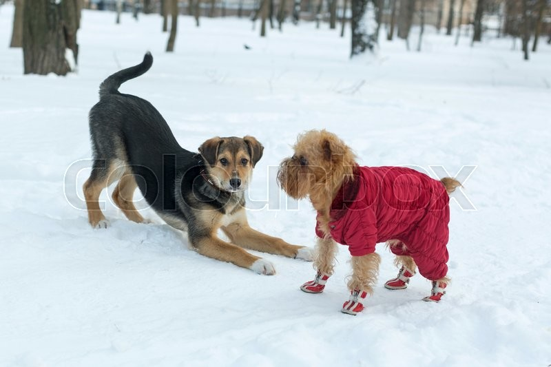Stock image of 'Two dogs playing on a walk in winter'