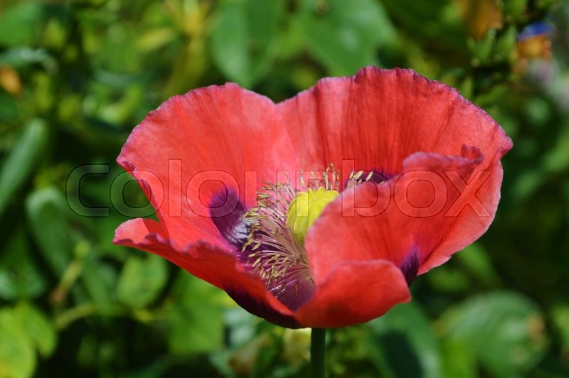 Stock image of 'Close-up image of a colourful garden variety of Opium Poppy.'
