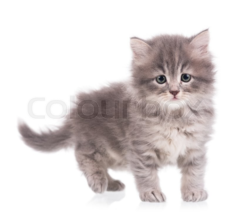 Stock image of 'Cute fluffy grey kitten over white background'