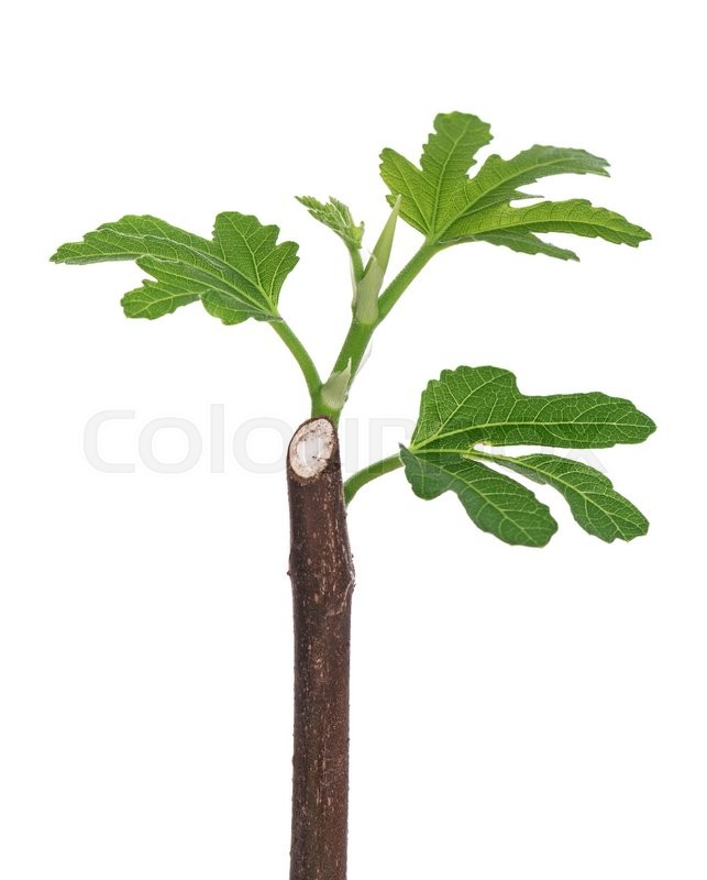 Stock image of 'Young green fig sprout isolated over white background'
