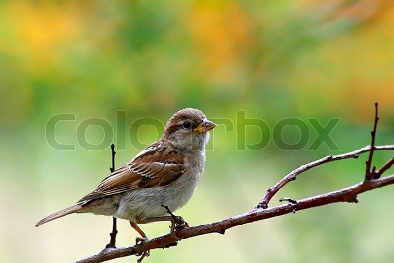 Fiery-throated Hummingbird (Panterpe insignis) 2 birds sitting on ...