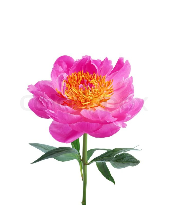 Bright pink peony flower isolated on white background stock photo bright pink peony flower isolated on white background stock photo colourbox mightylinksfo