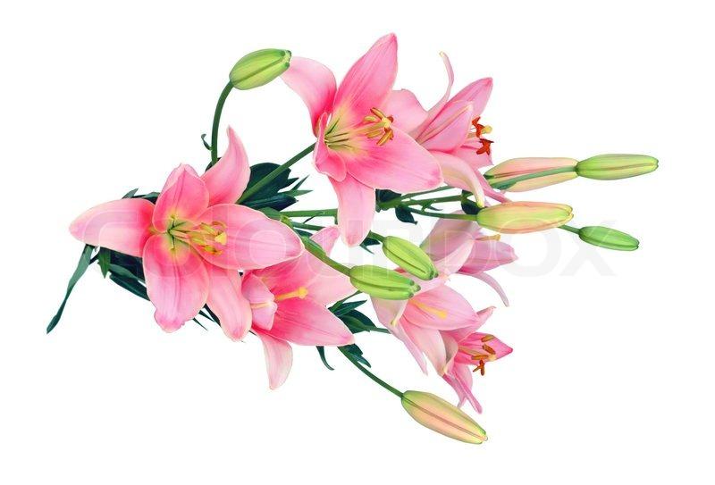 sch ne rosa lilien auf wei em hintergrund stockfoto colourbox. Black Bedroom Furniture Sets. Home Design Ideas