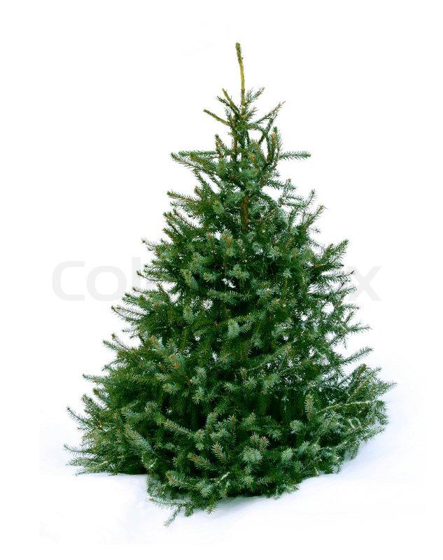 junge gr ne weihnachtsbaum fichte auf wei em schnee. Black Bedroom Furniture Sets. Home Design Ideas