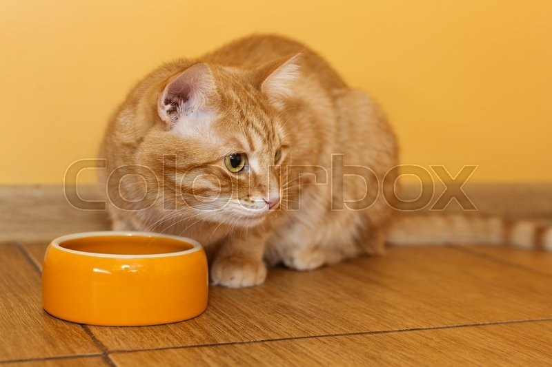 Ginger cat eating dry food from orange bowl, stock photo