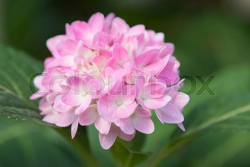 Hydrangea flower (Hydrangea macrophylla) in a garden, stock photo