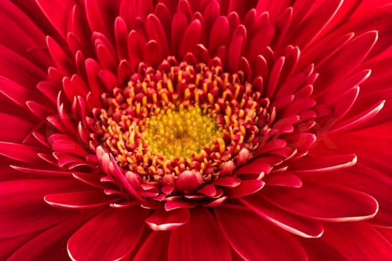 Schne und frische rote blume nahaufnahme stockfoto colourbox thecheapjerseys Images